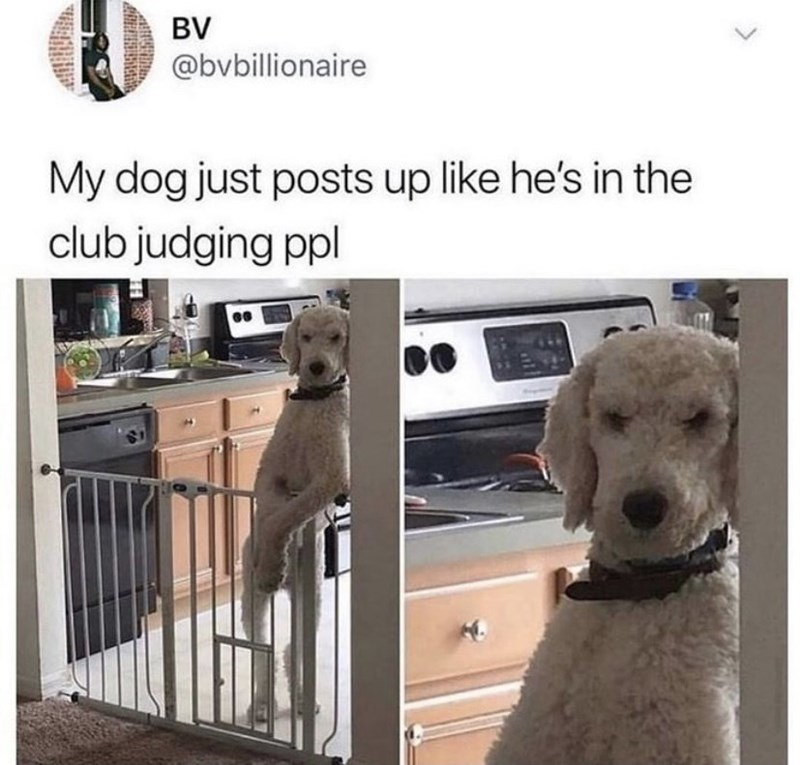 Dog - BV @bvbillionaire My dog just posts up like he's in the club judging ppl