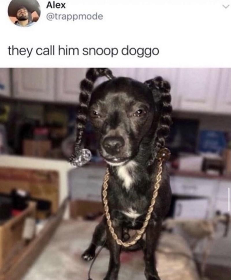 Dog - Alex @trappmode they call him snoop doggo