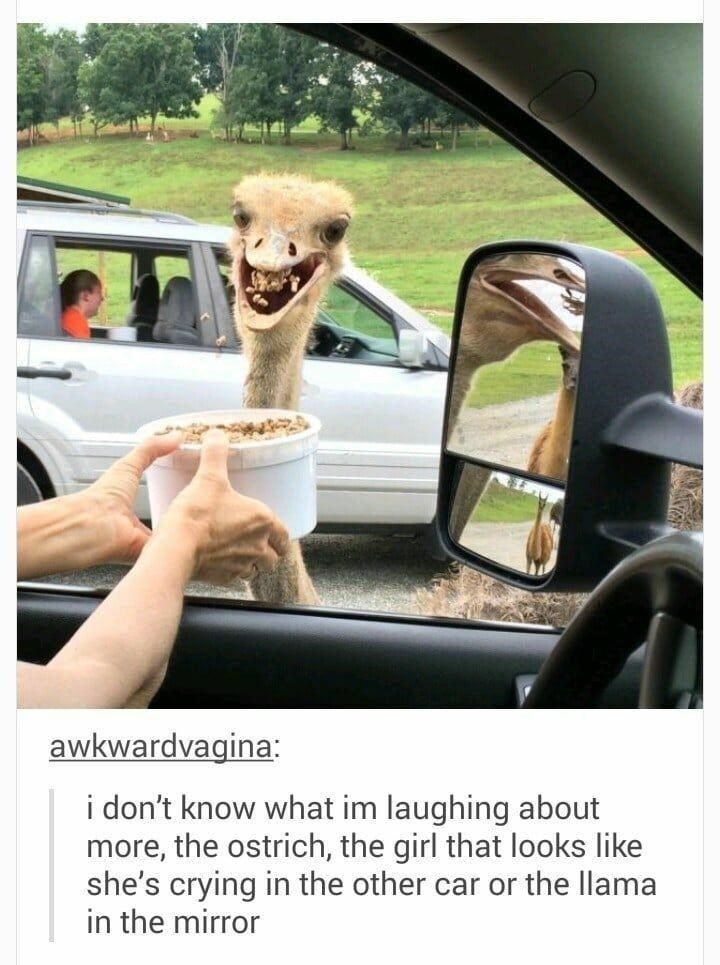 Car - awkwardvagina: i don't know what im laughing about more, the ostrich, the girl that looks like she's crying in the other car or the llama in the mirror
