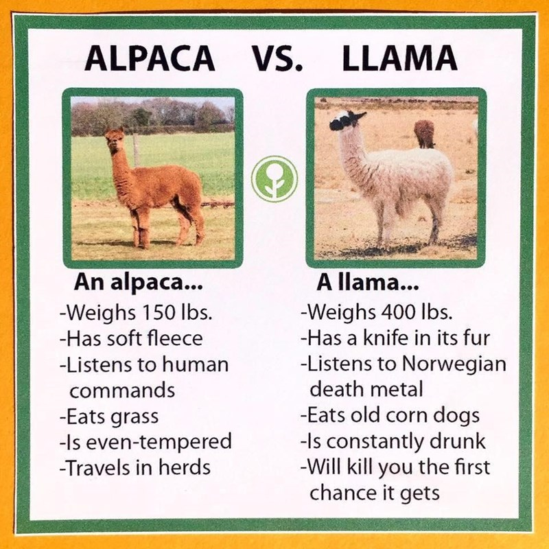 Vertebrate - ALPACA VS. Vs. LLAMA An alpaca... A llama... -Weighs 150 Ibs. -Has soft fleece -Weighs 400 Ibs. -Has a knife in its fur -Listens to Norwegian death metal -Listens to human commands -Eats grass -Is even-tempered -Travels in herds -Eats old corn dogs -Is constantly drunk -Will kill you the first chance it gets