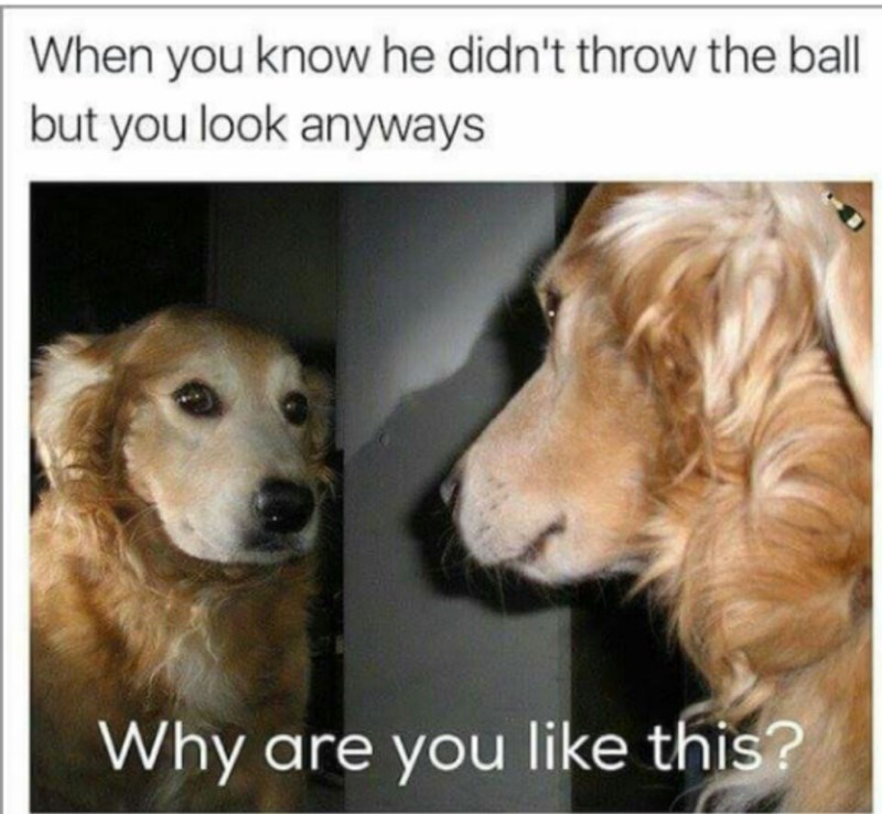 Dog - When you know he didn't throw the ball but you look anyways Why are you like this?