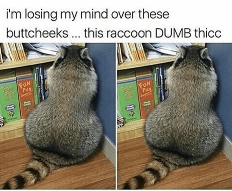 Vertebrate - i'm losing my mind over these buttcheeks.. this raccoon DUMB thicc WFUN FUN FUN FUN