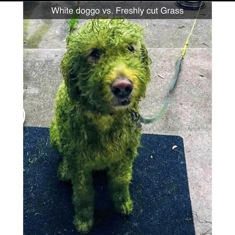 Dog - White doggo vs. Freshly cut Grass