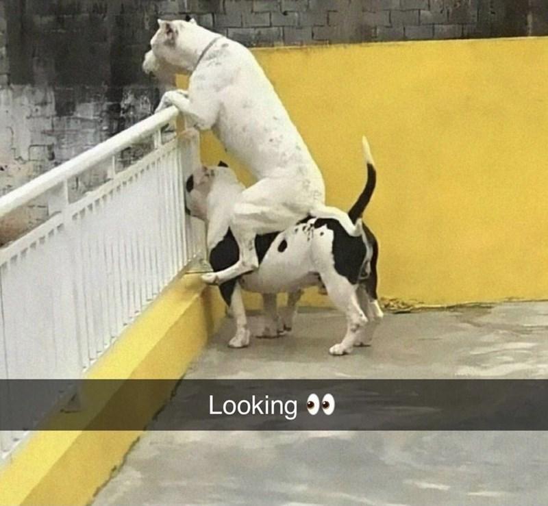 Dog - Looking 35