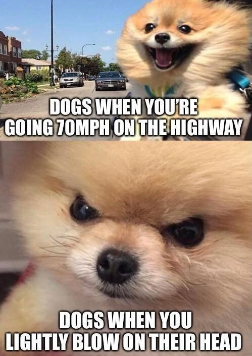 Dog - DOGS WHEN YOU'RE GOING 7OMPH ON THE HIGHWAY DOGS WHEN YOU LIGHTLY BLOW ON THEIR HEAD