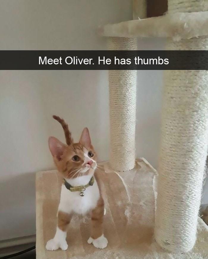 Cat - Meet Oliver. He has thumbs