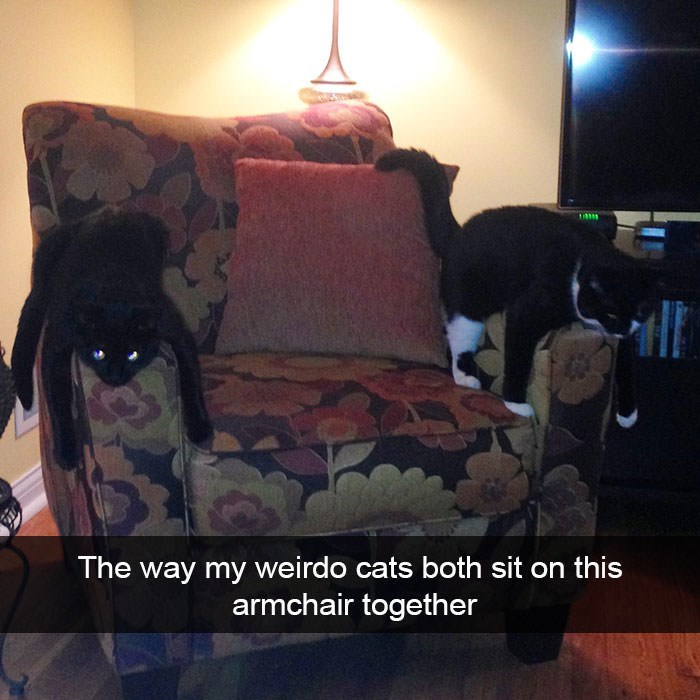 Couch - The way my weirdo cats both sit on this armchair together