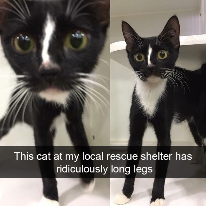 Head - This cat at my local rescue shelter has ridiculously long legs