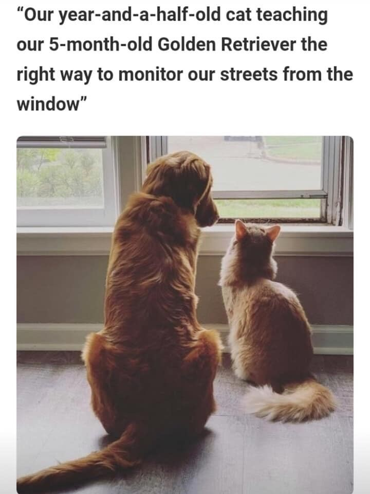 """Brown - """"Our year-and-a-half-old cat teaching our 5-month-old Golden Retriever the right way to monitor our streets from the window"""""""