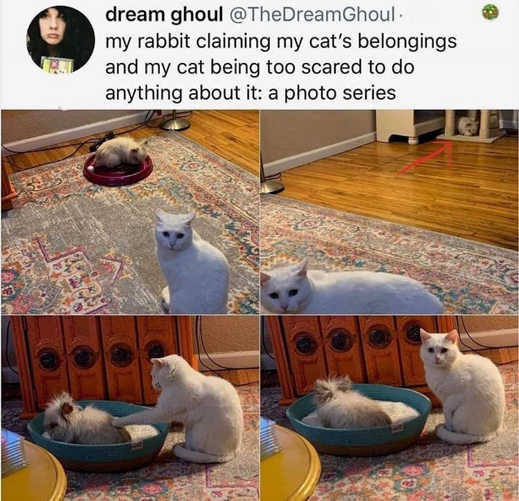 Photograph - dream ghoul @TheDreamGhoul · my rabbit claiming my cat's belongings and my cat being too scared to do anything about it: a photo series