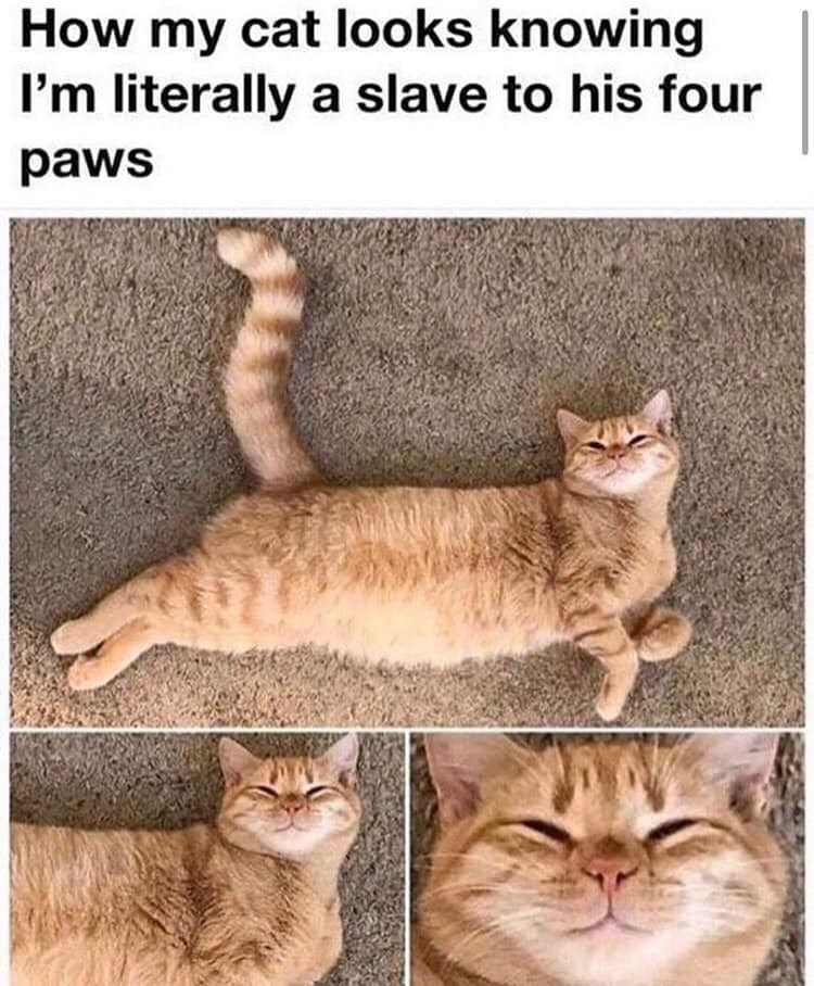 Cat - How my cat looks knowing I'm literally a slave to his four paws