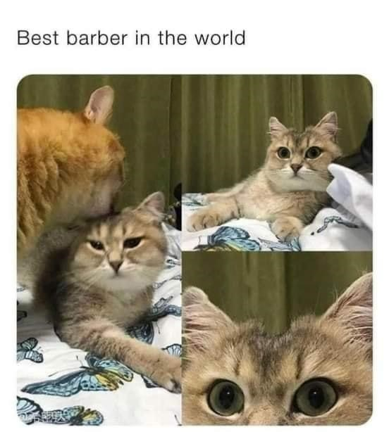 Cat - Best barber in the world