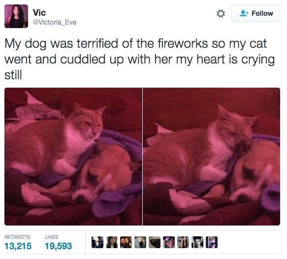 Cat - Vic @Victoria_Eve Follow My dog was terrified of the fireworks so my cat went and cuddled up with her my heart is crying stll RETWEETS LIKES 13,215 19,593