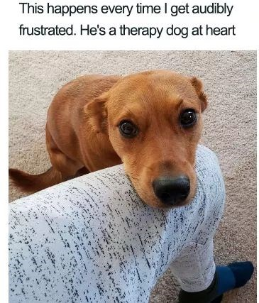 Dog - This happens every time I get audibly frustrated. He's a therapy dog at heart
