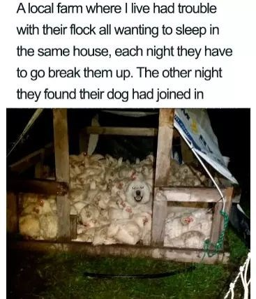 Wood - Alocal farm where I live had trouble with their flock all wanting to sleep in the same house, each night they have to go break them up. The other night they found their dog had joined in