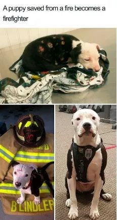 Dog - Apuppy saved froma fire becomes a firefighter BLINDLER