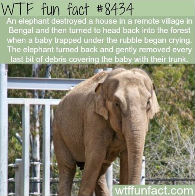 Plant - WTF fun fact #8434 An elephant destroyed a house in a remote village in Bengal and then turned to head back into the forest when a baby trapped under the rubble began crying. The elephant turned back and gently removed every last bit of debris covering the baby with their trunk. wtffunfact.com