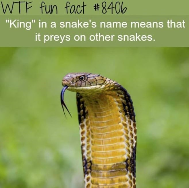 """King cobra - WTF fun fact #8406 """"King"""" in a snake's name means that it preys on other snakes."""