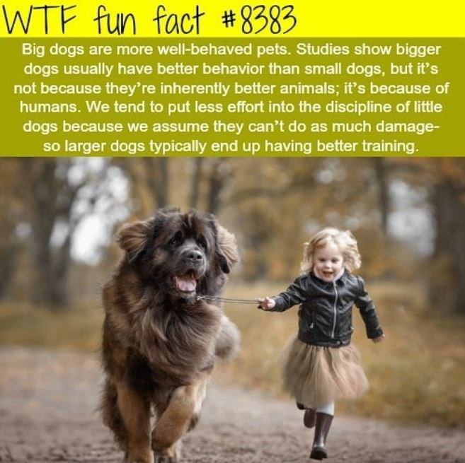 Dog - WTF fun fact #8383 Big dogs are more well-behaved pets. Studies show bigger dogs usually have better behavior than small dogs, but it's not because they're inherently better animals; it's because of humans. We tend to put less effort into the discipline of little dogs because we assume they can't do as much damage- so larger dogs typically end up having better training.