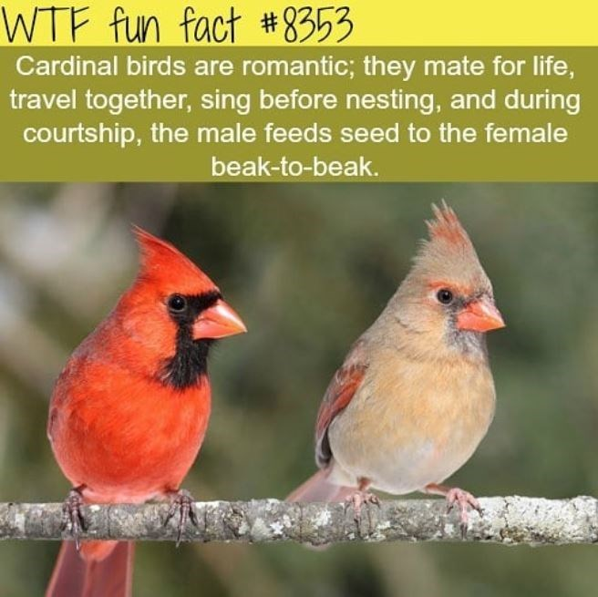 Bird - WTF fun fact #8353 Cardinal birds are romantic; they mate for life, travel together, sing before nesting, and during courtship, the male feeds seed to the female beak-to-beak.