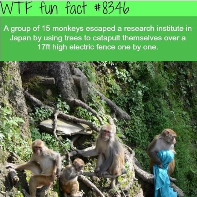 Primate - WTF fun fact #8346 A group of 15 monkeys escaped a research institute in Japan by using trees to catapult themselves over a 17ft high electric fence one by one.