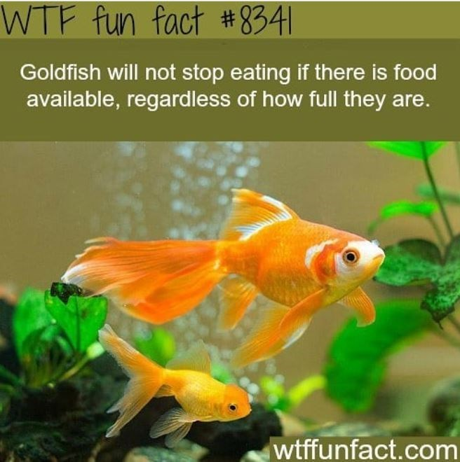 Natural environment - WTF fun fact #8341 Goldfish will not stop eating if there is food available, regardless of how full they are. wtffunfact.com