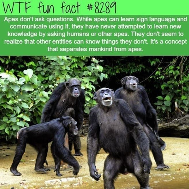 Primate - WTF fun fact # 8289 Apes don't ask questions. While apes can learn sign language and communicate using it, they have never attempted to learn new knowledge by asking humans or other apes. They don't seem to realize that other entities can know things they don't. It's a concept that separates mankind from apes.