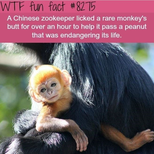 Primate - WTF fun fact #8275 A Chinese zookeeper licked a rare monkey's butt for over an hour to help it pass a peanut that was endangering its life.