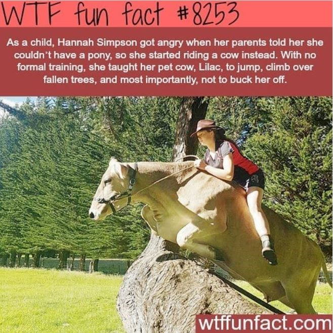 Horse - WTF fun fact #8253 As a child, Hannah Simpson got angry when her parents told her she couldn't have a pony, so she started riding a cow instead. With no formal training, she taught her pet cow, Lilac, to jump, climb over fallen trees, and most importantly, not to buck her off. wtffunfact.com