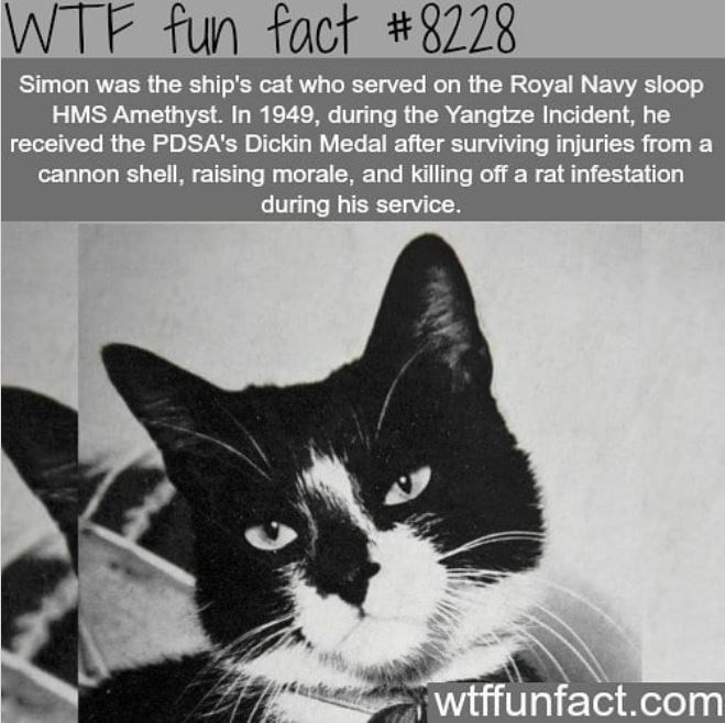 Cat - WTF fun fact #8228 Simon was the ship's cat who served on the Royal Navy sloop HMS Amethyst. In 1949, during the Yangtze Incident, he received the PDSA's Dickin Medal after surviving injuries from a cannon shell, raising morale, and killing off a rat infestation during his service. wtffunfact.com