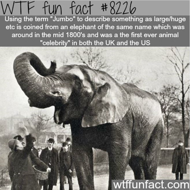"""Elephant - WTF fun fact #8226 Using the term """"Jumbo"""" to describe something as large/huge etc is coined from an elephant of the same name which was around in the mid 1800's and was a the first ever animal """"celebrity"""" in both the UK and the US wtffunfact.com"""