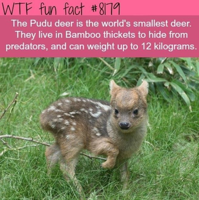 Plant - WTF fun fact # 8]79 The Pudu deer is the world's smallest deer. They live in Bamboo thickets to hide from predators, and can weight up to 12 kilograms.