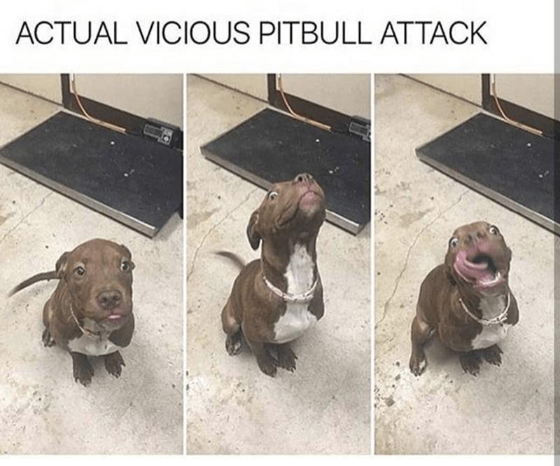 Brown - ACTUAL VICIOUS PITBULL ATTACK
