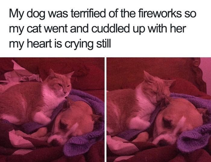 Cat - My dog was terrified of the fireworks so my cat went and cuddled up with her my heart is crying still