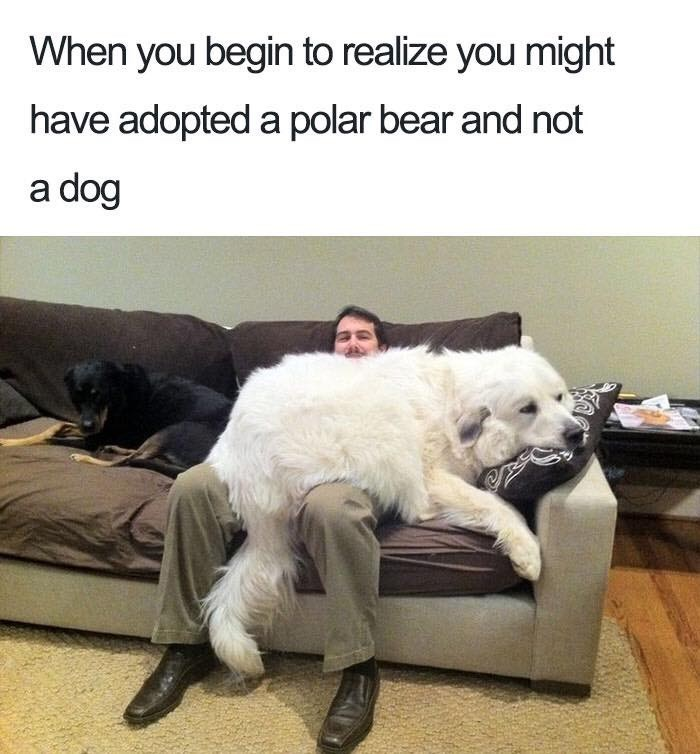 Dog - When you begin to realize you might have adopted a polar bear and not a dog