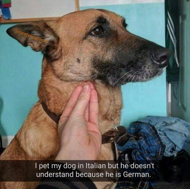 Dog - @zestysupren I pet my dog in Italian but he doesn't understand because he is German.