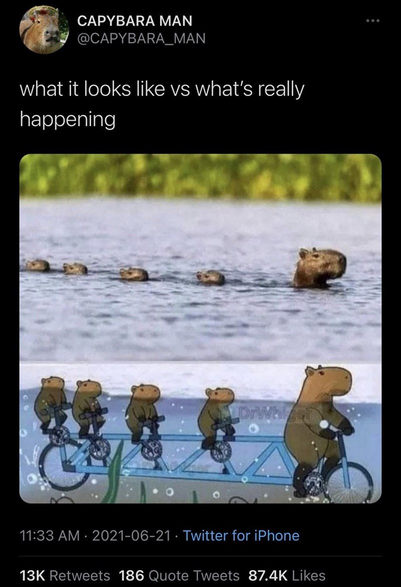 Vertebrate - CAPYBARA MAN @CAPYBARA_MAN what it looks like vs what's really happening DrWhiet 11:33 AM · 2021-06-21 · Twitter for iPhone 13K Retweets 186 Quote Tweets 87.4K Likes