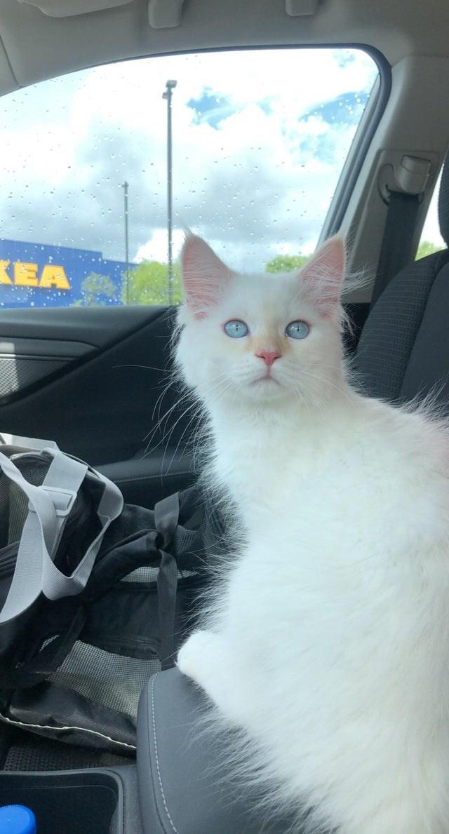 Cat - KEA