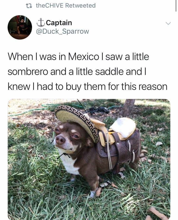 Dog - 17 theCHIVE Retweeted t Captain @Duck_Sparrow When I was in Mexico I saw a little sombrero and a little saddle and I knew I had to buy them for this reason