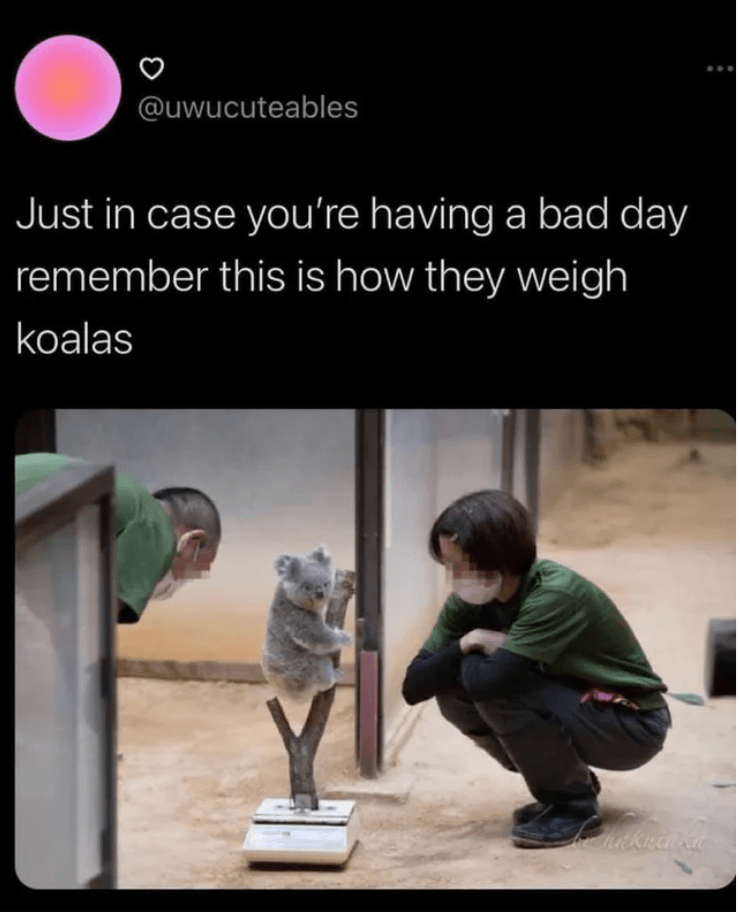 Product - @uwucuteables Just in case you're having a bad day remember this is how they weigh koalas