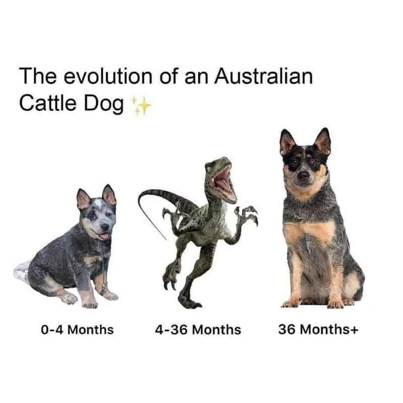 Dog - The evolution of an Australian Cattle Dog 0-4 Months 4-36 Months 36 Months+