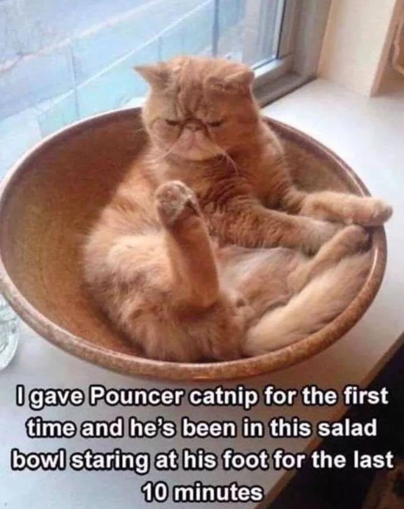 Cat - O gave Pouncer catnip for the first time and he's been in this salad bowl staring at his foot for the last 10 minutes