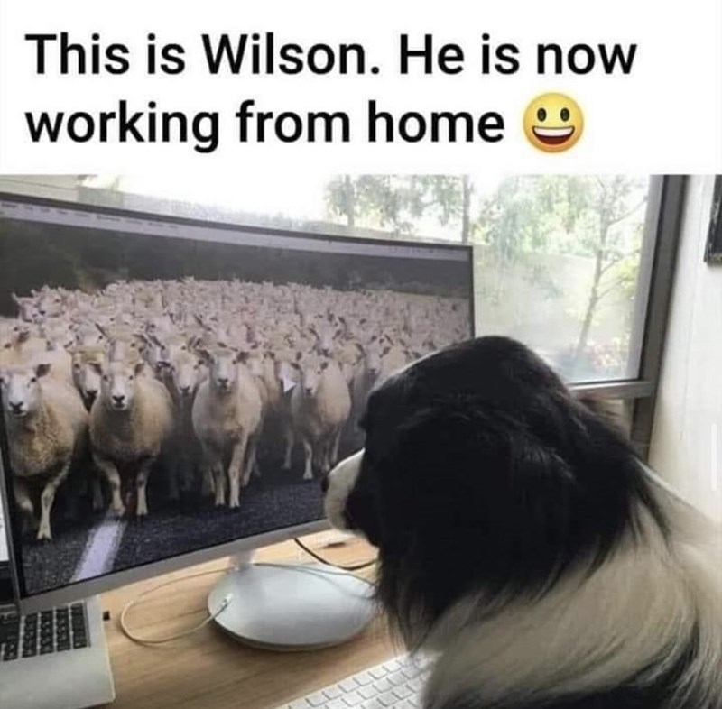 Dog - This is Wilson. He is now working from home LLLLI LLLLT LE