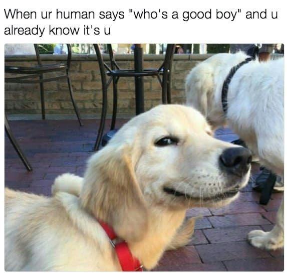 "Dog - When ur human says ""who's a good boy"" and u already know it's u"