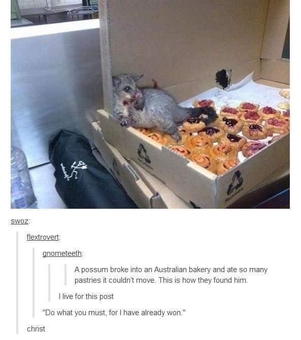 """Recipe - SWOZ flextrovert anometeeth: A possum broke into an Australian bakery and ate so many pastries it couldn't move. This is how they found him. I live for this post """"Do what you must, for I have already won."""" christ"""
