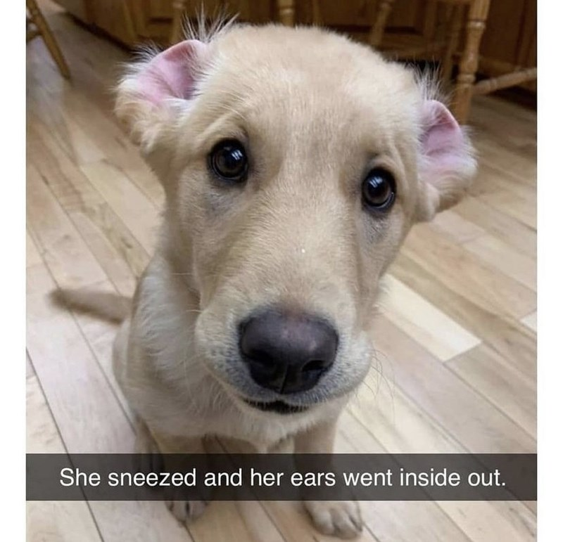 Dog - She sneezed and her ears went inside out.