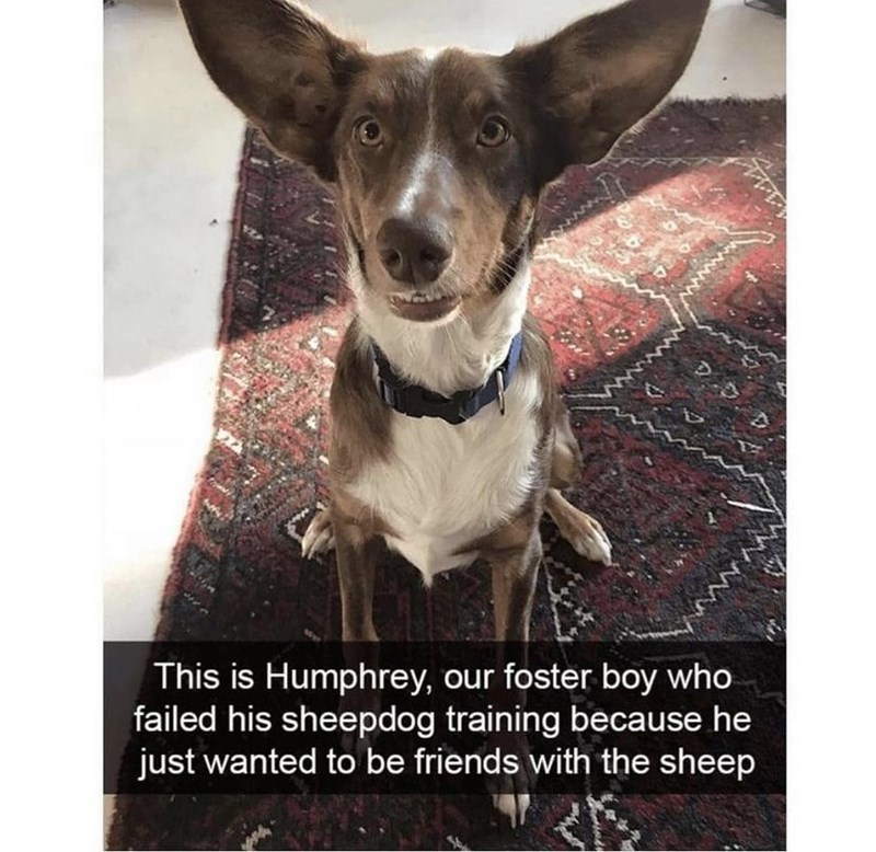 Dog - This is Humphrey, our foster boy who failed his sheepdog training because he just wanted to be friends with the sheep