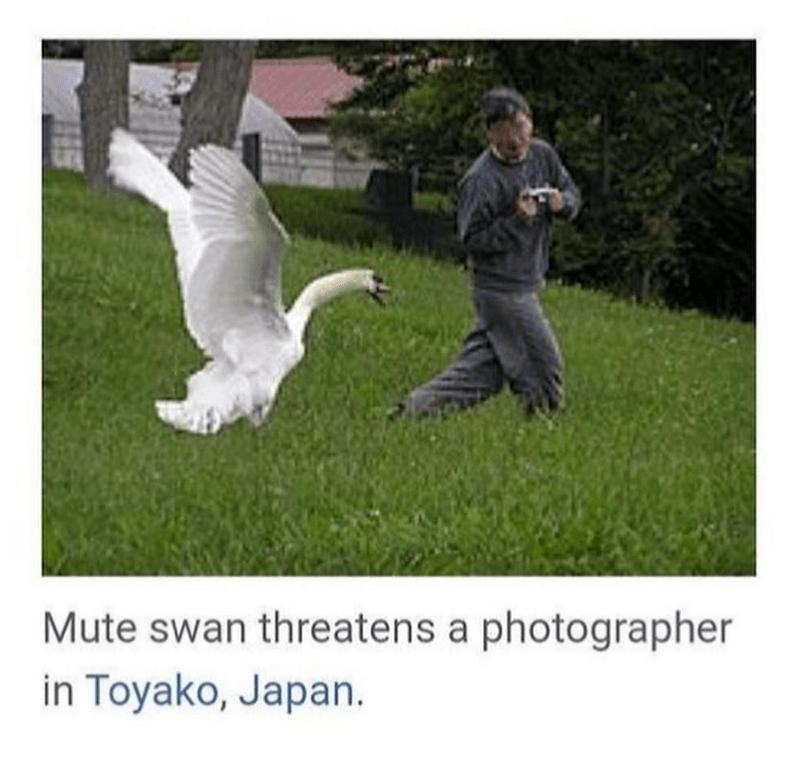 Bird - Mute swan threatens a photographer in Toyako, Japan.