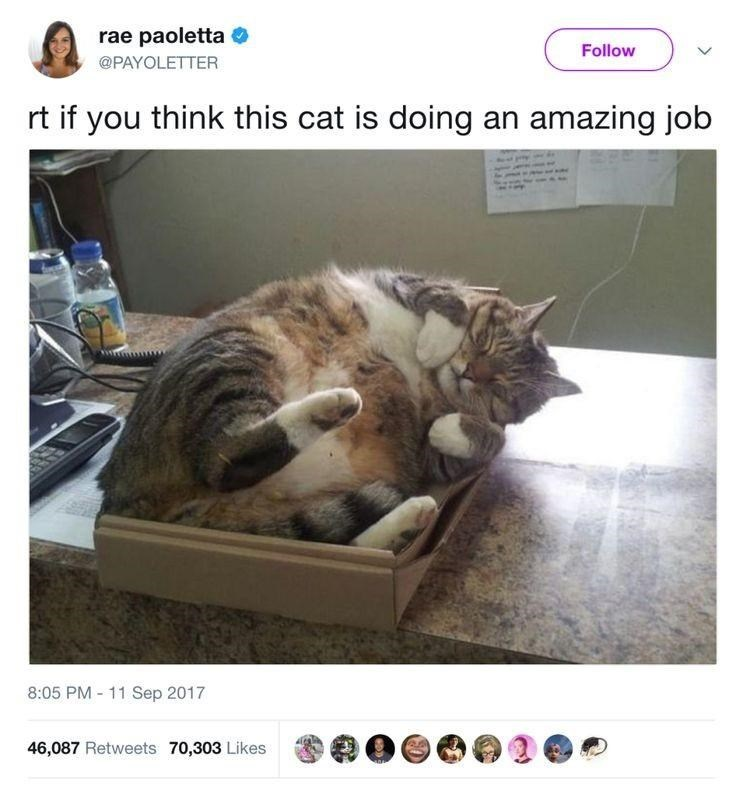 Cat - rae paoletta O Follow @PAYOLETTER rt if you think this cat is doing an amazing job 8:05 PM - 11 Sep 2017 46,087 Retweets 70,303 Likes
