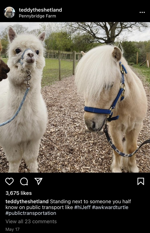 Horse - teddytheshetland Pennybridge Farm 3,675 likes teddytheshetland Standing next to someone you half know on public transport like #hiJeff #awkwardturtle #publictransportation View all 23 comments May 17
